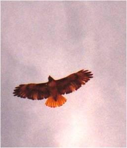 Hawk on I-5