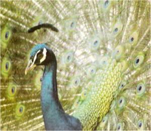 Peacock, Arboretum