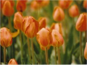 Tulips, Descanso Gardens