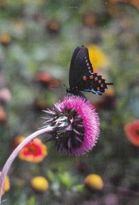 black butterfly on thistle