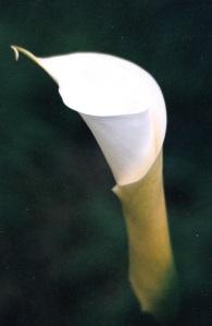 calla lily bud