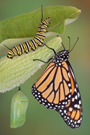 All Stages of the Monarch Butterfly from the Monarch Butterfly Website