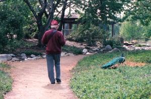 dad stalking peacock