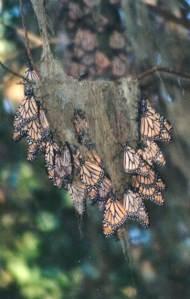 hanging monarchs 2