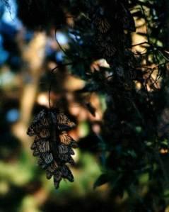 hanging monarchs