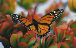monarch on ice plant