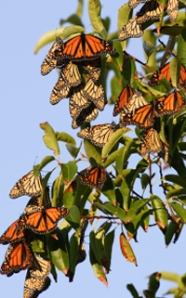 Hibernating Monarchs from the Monarch Butterfly Website