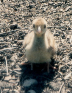one peachick are you my mother