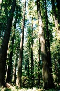 redwood in sunshine