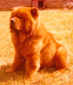 Chopper the Chow Chow