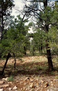 juniper pinyon forest