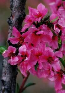 Pink Bud on Fruit Tree