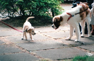 yellow lab & st bernard saying hello