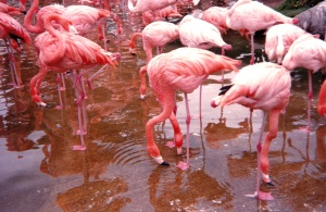 a flamboyance of flamingos