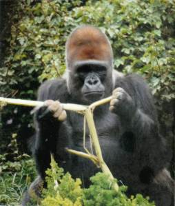 gorillaface front