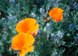 poppies and lupine_0001