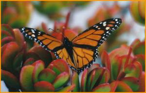 butterfly on ice plant