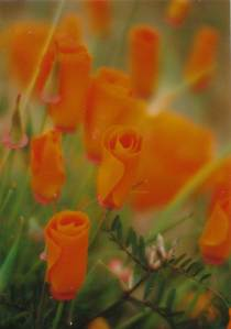 poppies blurry