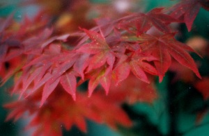 red leaves 3