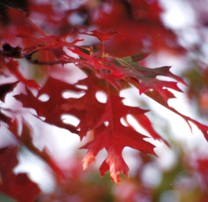 red leaves side