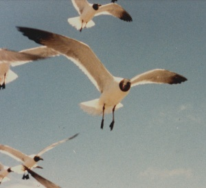 laughing gulls 2a