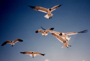 laughing gulls 3
