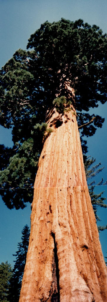 one tall redwood