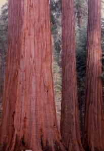 redwood trunks