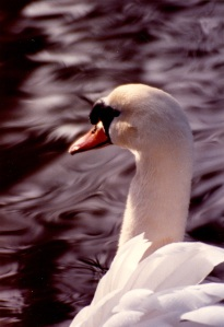swan upclose