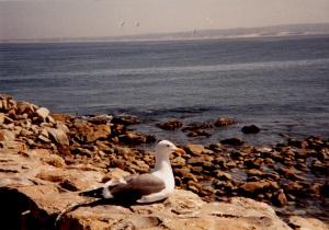 Western Gull, Monterey, CA