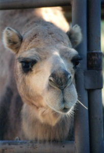 camel close up