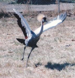 crested crane dance 1