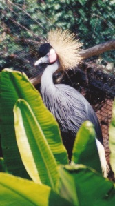 crested crane in aviary