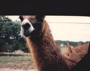 feeding llama