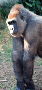 gorilla standing