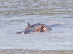 hippo surfacing