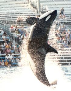 killer whale 1