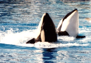 killer whales two
