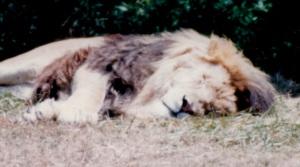 lion nap