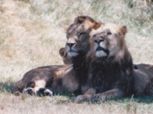 lions two