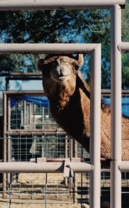 mc camel
