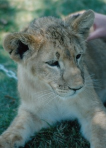 mc lion cub