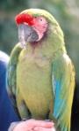 mc parrot