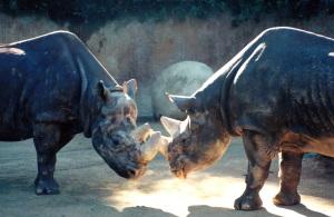 rhinos two
