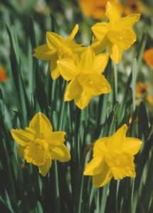 daffodil many