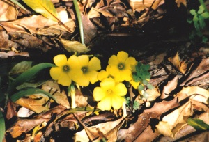 first spring flowers yellow
