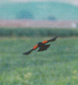 red winged black bird flying
