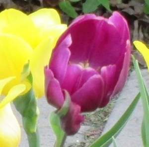Tulips in Pella, IA, Home of the Tulip Festival