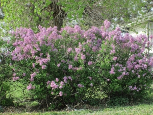 Lilacs for Mom