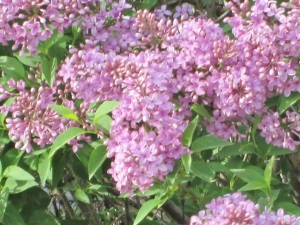 Lilacs on a Country Road near Julesberg, CO